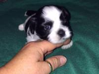 Beautiful Non-Shed Hypoallergenic designer puppies born