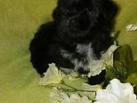 Maltetzu 10 wks old CKC reg.shots & deworming up to
