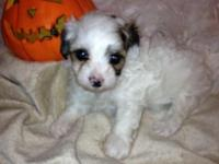 Stunning male Maltese poodle mix young puppy. Now 5