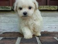 Stunning female Maltepoo wanting a loving house only.