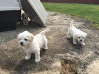 Pure breed Maltese looking for a loving home! They have