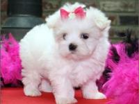 SUPER TEACUP PUPPIES AND DOG BOUTIQUE WITH LUXURY ITEMS