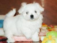 Animal Type: Dogs Sweet, very affectionate, maltese,