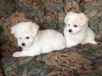 Amazing Breed, Raised in my home. Hypoallergenic,