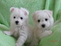 Beautiful Maltese young puppies. DOB 12/11/14. Up to
