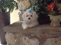 Sweet and very playful Maltese puppy. Raised in a