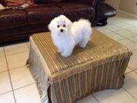 Maltese playfully male puppy loves to cuddle and have