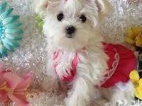 AKC toy Maltese puppy very playful and sweet little