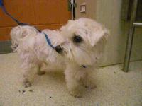 Female maltese need loving home moving and cant take