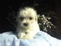 I have been breeding the Maltese since 1999. These