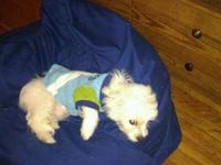 A loving 2yr. old male Maltese. He's a very playful dog