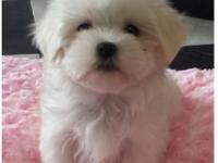 The Maltese is spirited, energetic and playful. Gentle,