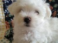 Maltese dogs available first week of December. 2 males.