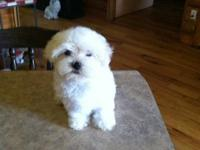 11 week old male maltese puppy, cute, playfull,