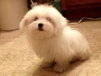 Maltese four months old small males shots and wormed