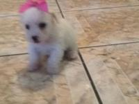 Female Maltese ready to go to new family,with 1st shots