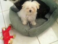 3 month old maltese needs a home asap. I do not have