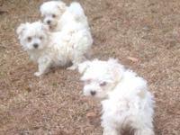CUTE AS BUTTONS MALTESE 8 WEEKS OLD.THEY HAVE HAD FIRST