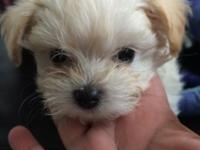 Tiny maltese male 8 weeks old born on March 8th. He is