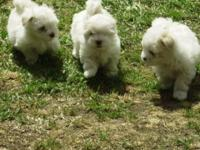 Two male Maltese pups very good price will be around 7