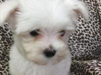Akc male Maltese available utd on shots worming and vet
