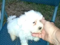 Male Maltese UKC registered shot and wormed, very