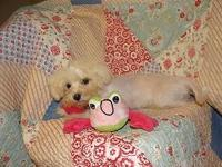 I have this one male maltese left. I have reduced the