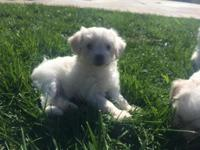 One male and one female. Maltese puppies. 7 weeks right