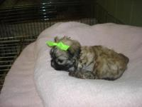 Two tiny Imperial Shih/Tzu and Maltese Mixes. These