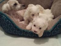 I Have Two Beautiful maltipoo for sale one male and one