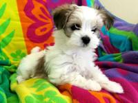 We have four stunning male Morkies all set to go to