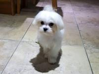 For sale to a good home. A six month old Maltese Boy