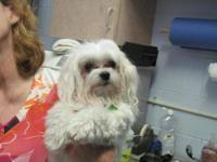Maltese - Brody - Small - Adult - Male - Dog UPDATE