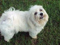 Maltese - Casper - Small - Young - Male - Dog Location