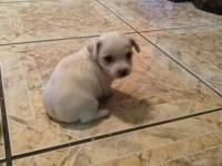 Maltese/chihuahua ready for a new home for