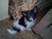 I have (4) Maltese/Chihuahua mix puppies. Born on the