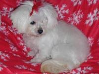Maltese - Chip - Small - Young - Male - Dog Chip is