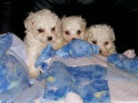 Description Maltese (CKC) 3 girls born 4/6/09. They'll