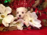 CKC Male Maltese Christmas Puppies! I am now taking