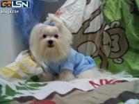 Maltese CKC registered puppies from AKC lines. Two