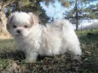 This is little Shilo...his mother is Maltese/Pekingese