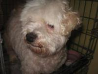 Maltese - Dixie - Small - Adult - Female - Dog Dixie is