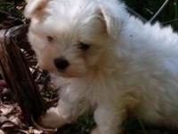 One micro maltese lady this little woman is going to be