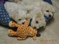 I live in O'Brien, Florida and have 13 Maltese puppies