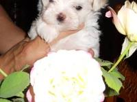 I have 3 registered female Maltese puppies. They will