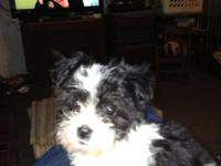2 Maltese-Havanese combined young puppies. One boy and
