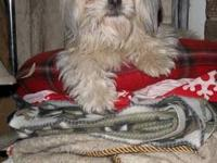 Maltese - Isabella, Adopted! - Small - Adult - Female -