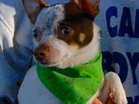 Maltese - Jitterbug - Small - Young - Male - Dog