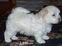 Maltese - Lexi - Small - Baby - Female - Dog Lexi and