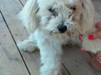 Hi i am rehoming my male maltese. He is 7 months old